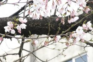 ラ・ボーテからの桜情報